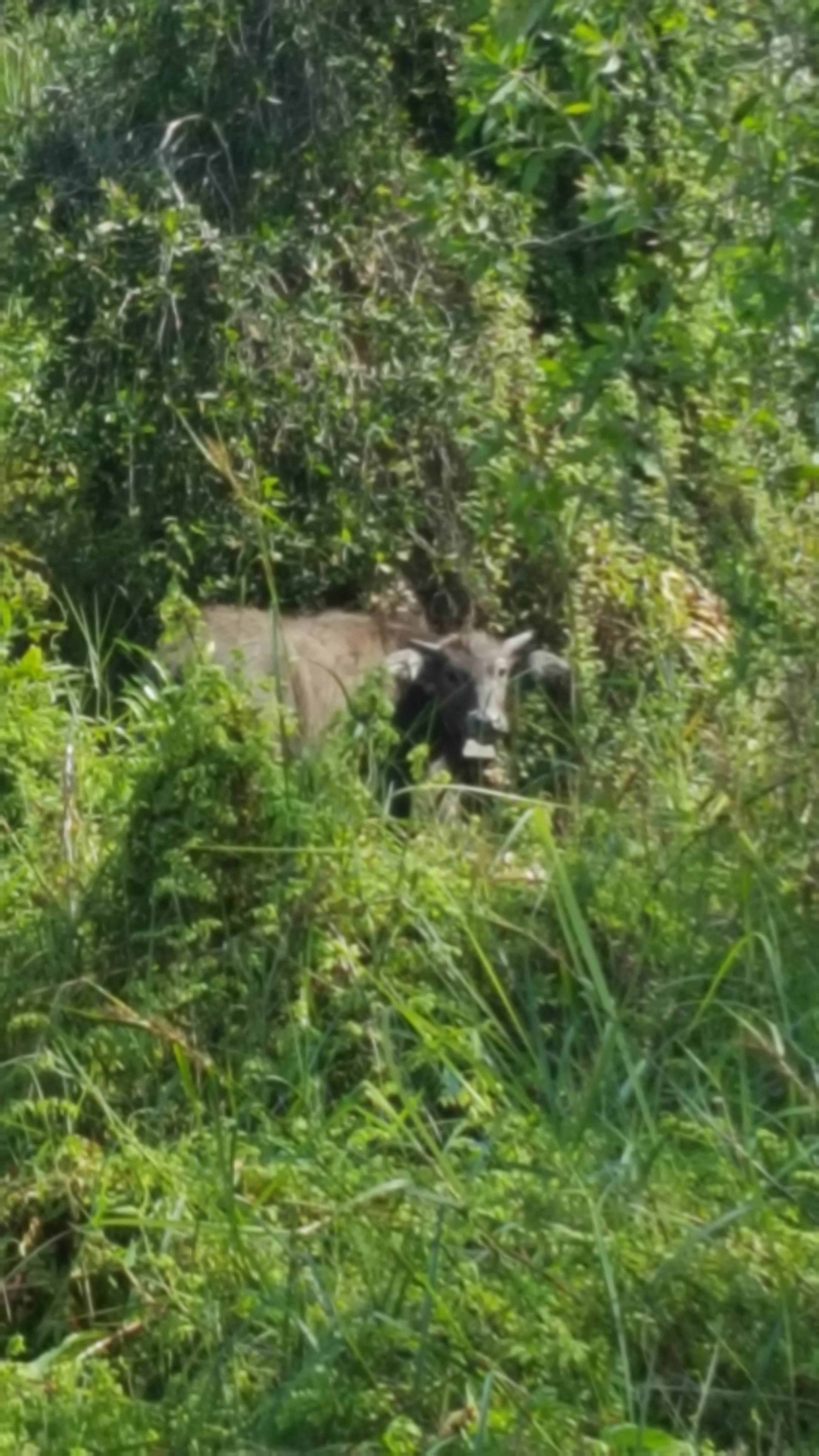 Vattenbuffel i buskage