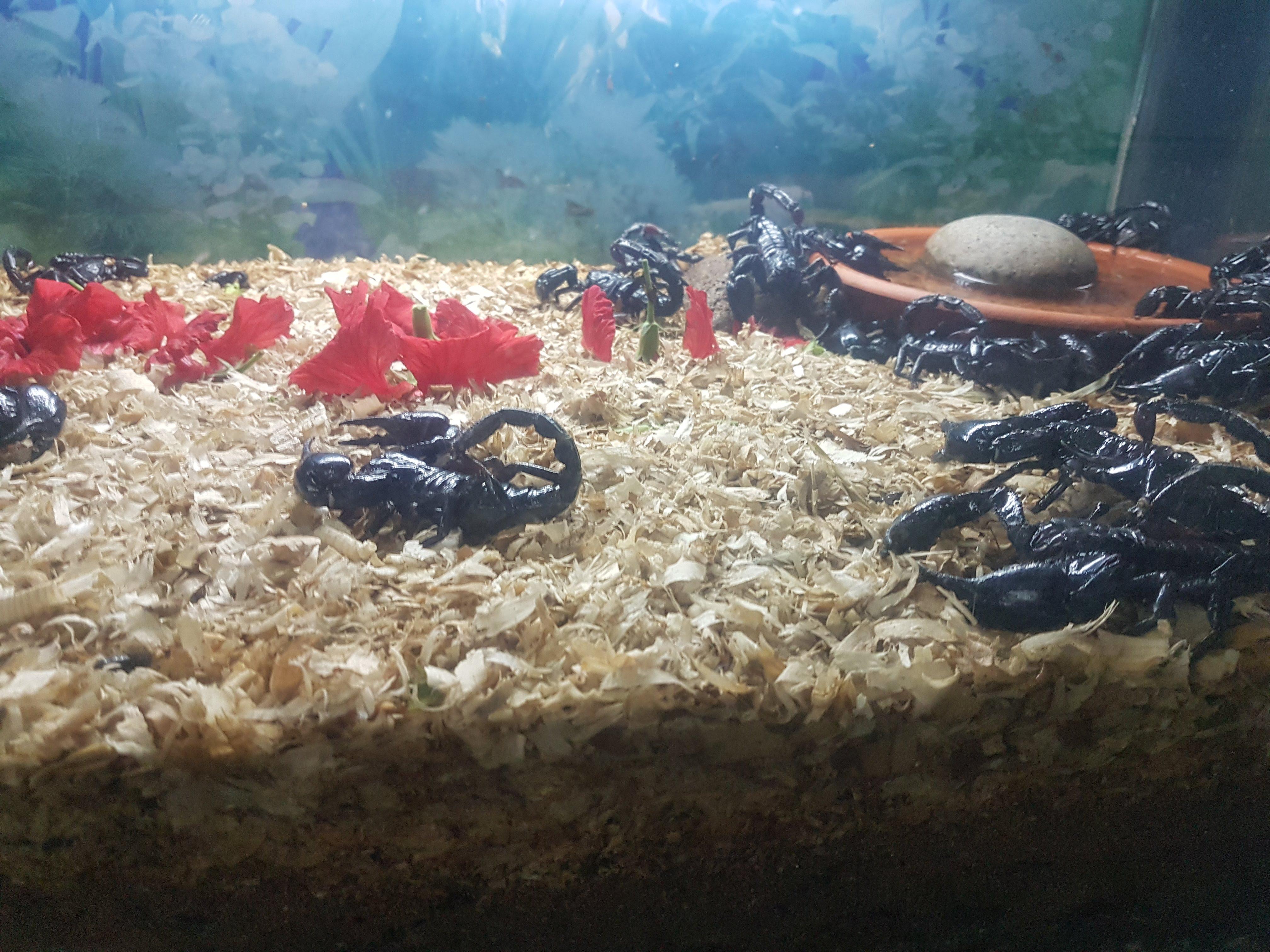 Skorpioner i terrarium